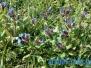 На Сиваші вже зацвіли тюльпани